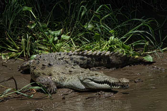 A crocodile on the guided river tour