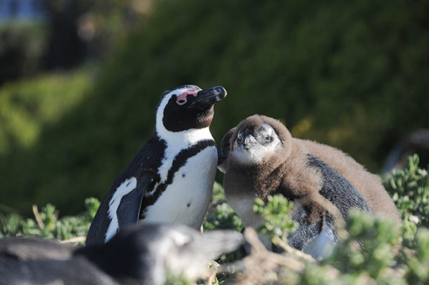 Momma penguin and baby at Boulders Beach
